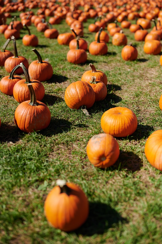 orange pumpkins on green grass during daytime