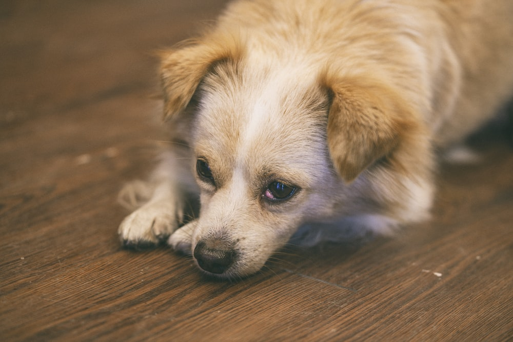 white and brown short coated small dog lying on brown wooden floor