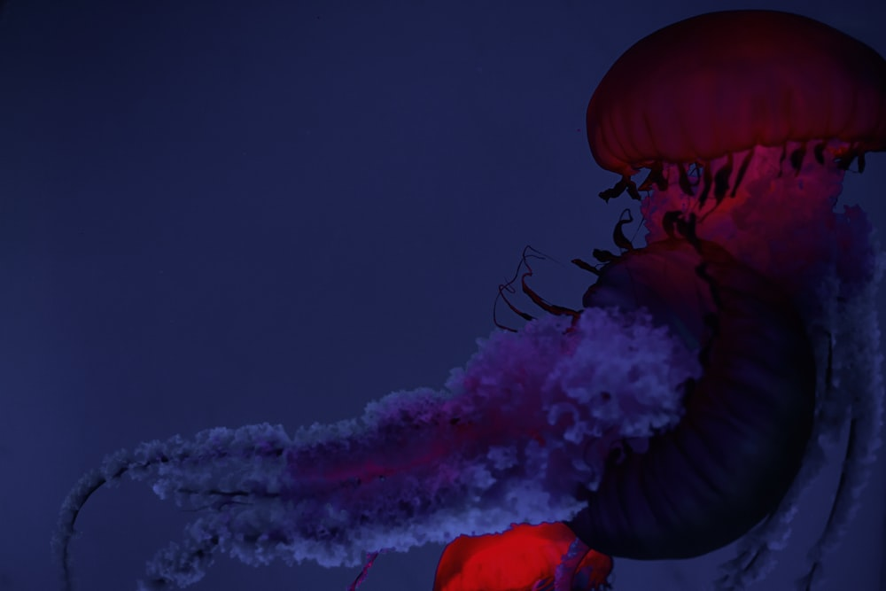 blue and red jelly fish