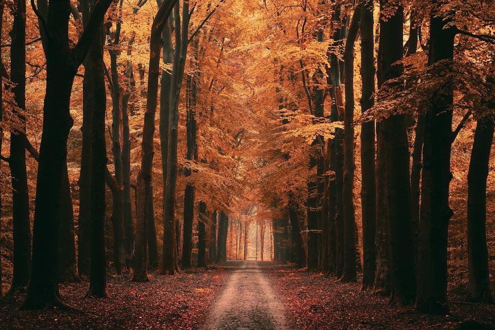 brown pathway between brown trees