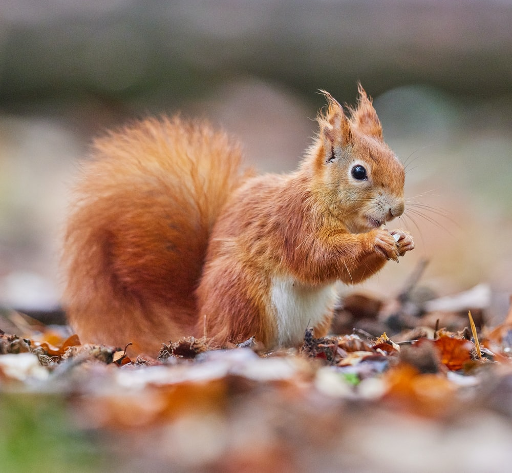 brown squirrel on brown dried leaves