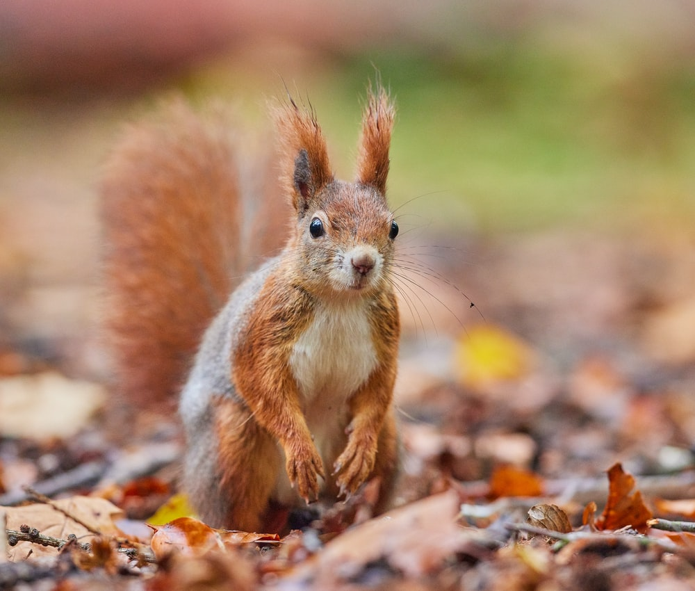 brown squirrel on brown dried leaves during daytime