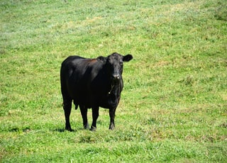 black cow on green grass field during daytime