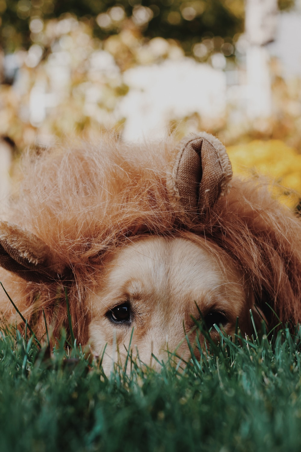 brown long haired dog lying on green grass during daytime