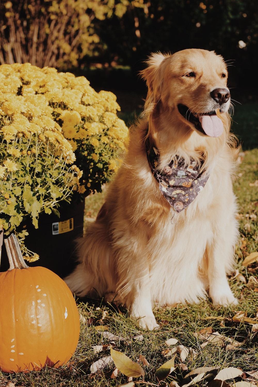 golden retriever sitting on the pumpkin