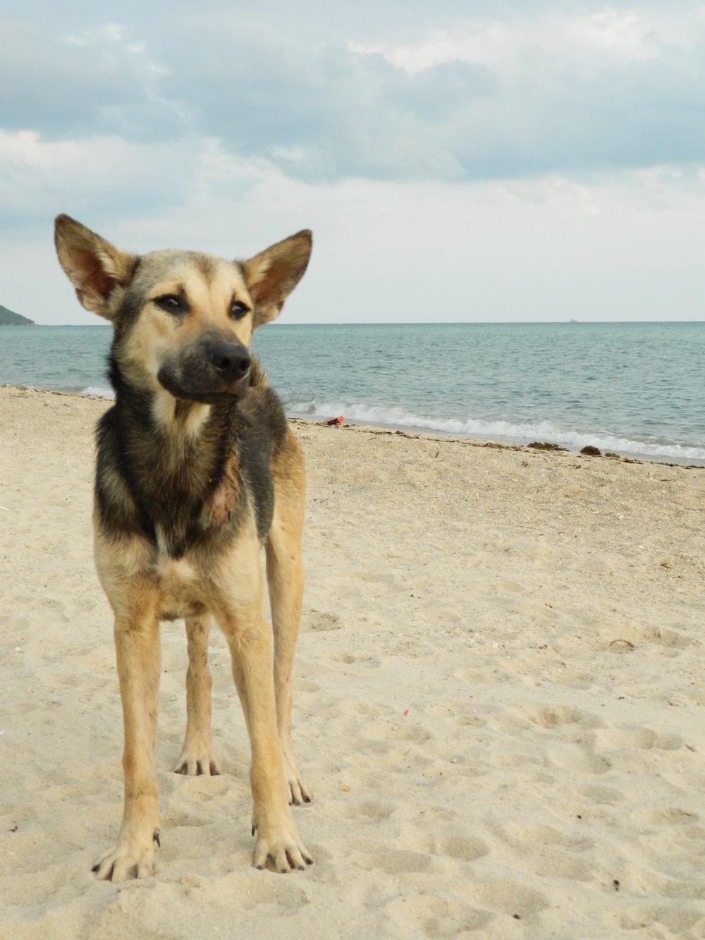 brown and black german shepherd on beach during daytime