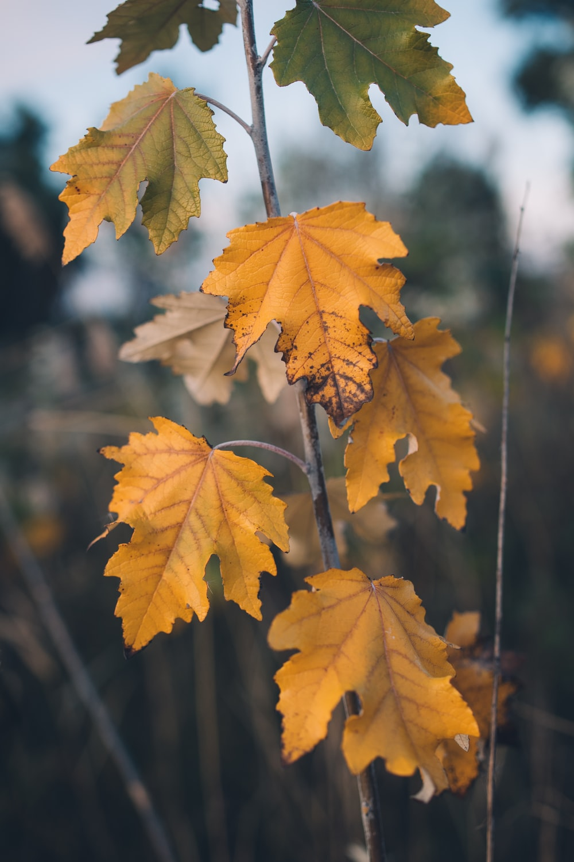 yellow maple leaf on brown stem