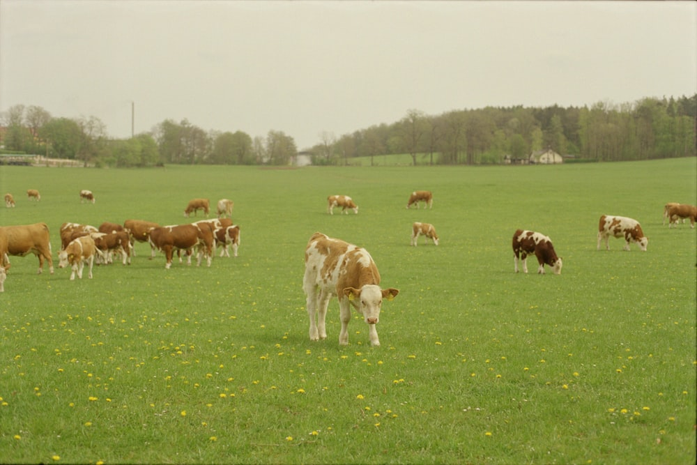 herd of cow on green grass field during daytime