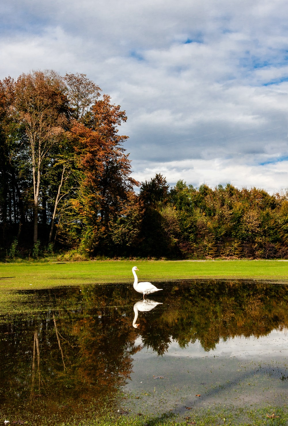 white swan on green grass field near lake under cloudy sky during daytime