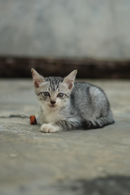 silver tabby kitten on gray concrete floor