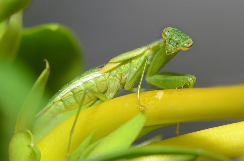 green praying mantis perched on yellow flower