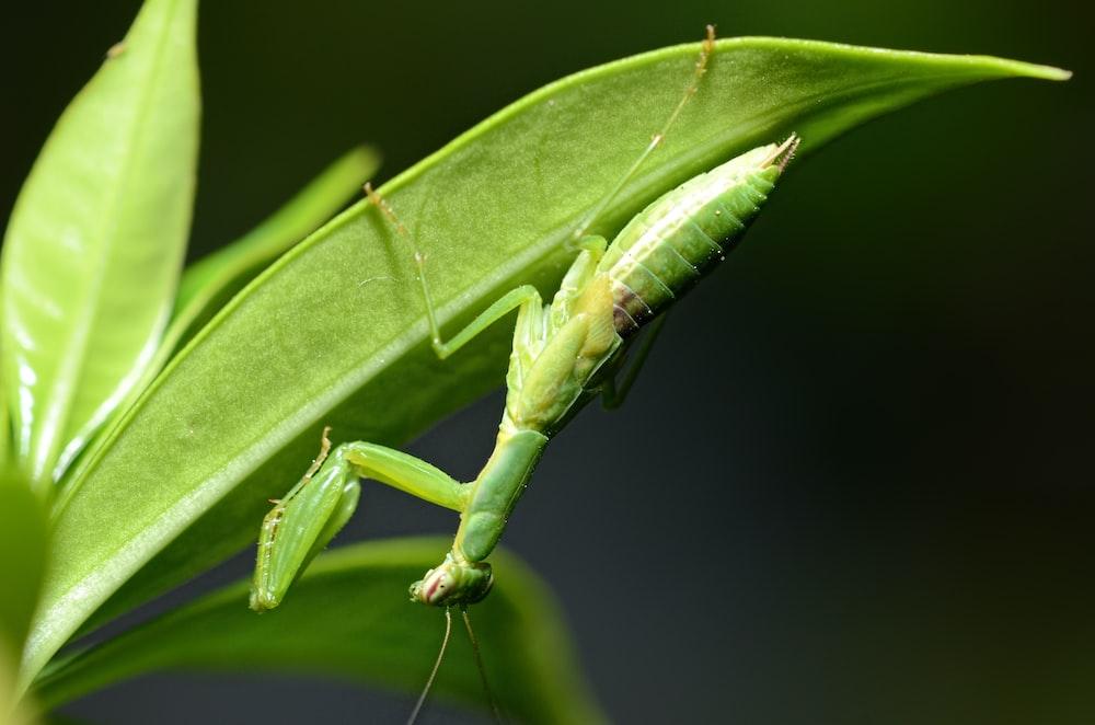 green praying mantis on green leaf in close up photography during daytime