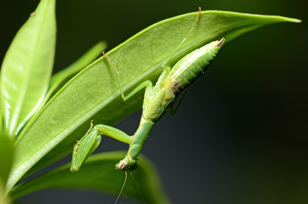 green praying mantis on green leaf in close up photography during daytime