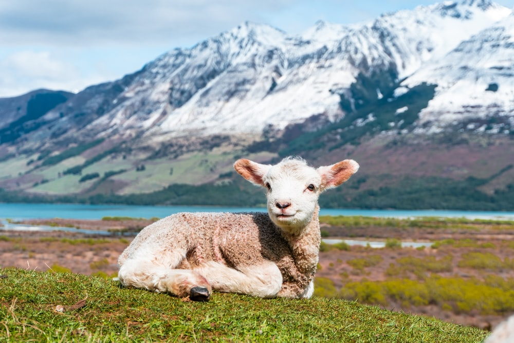 white sheep on green grass field near snow covered mountain during daytime