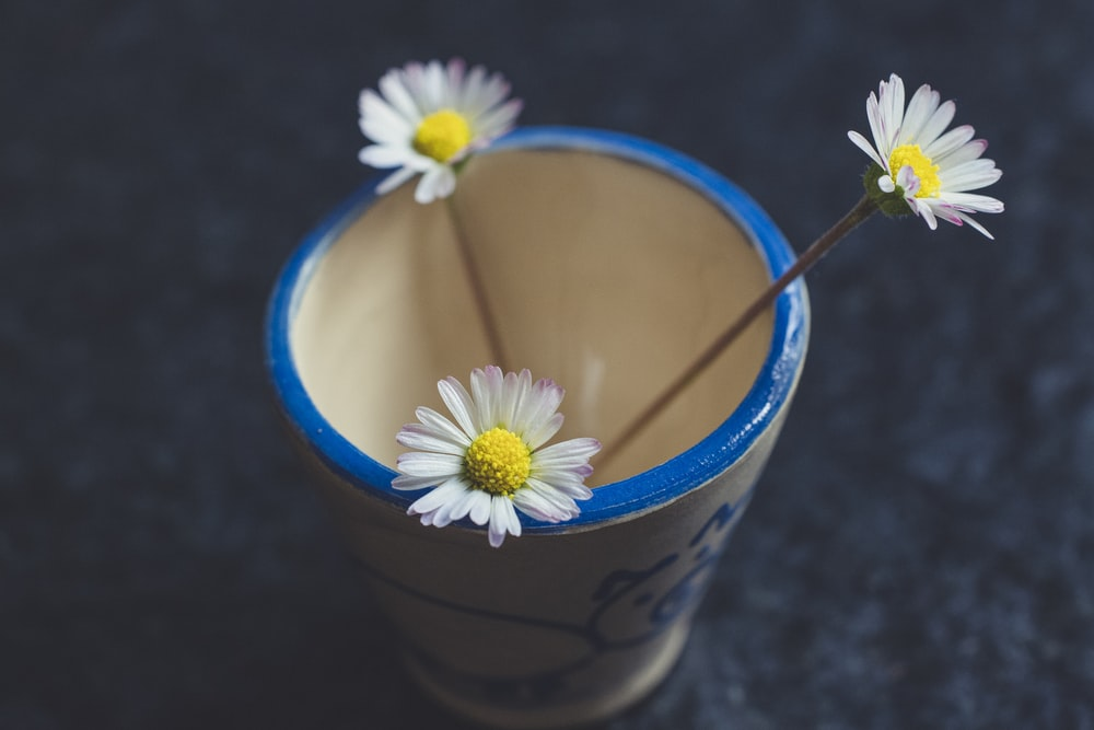 white and yellow daisy in blue plastic cup