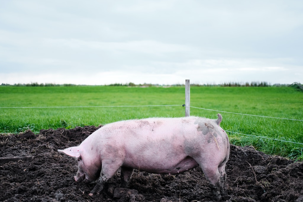 pink pig on green grass field during daytime