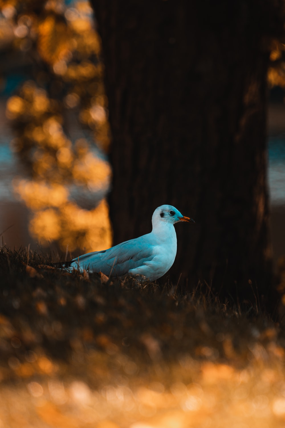 white and blue bird on brown grass