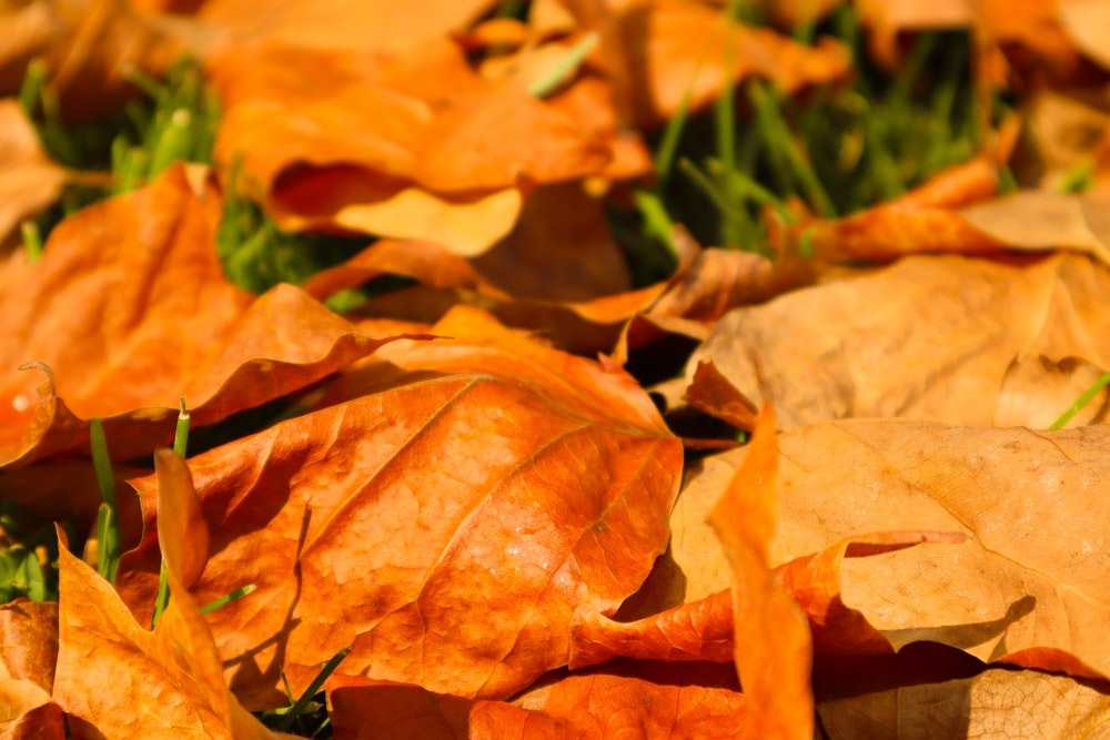 brown dried leaves on green grass during daytime
