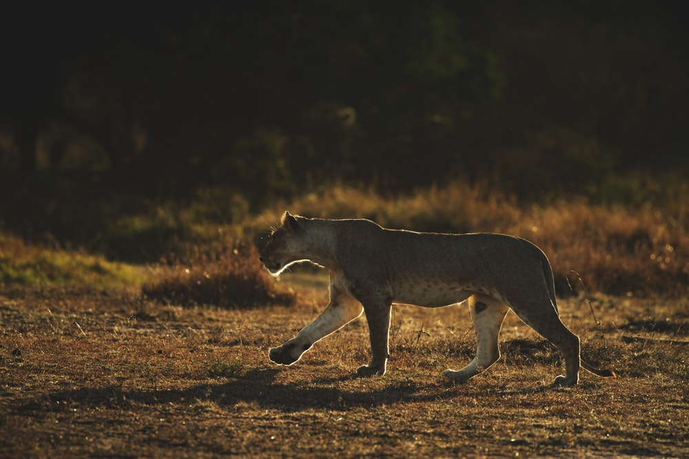 brown and black lioness walking on brown field during daytime