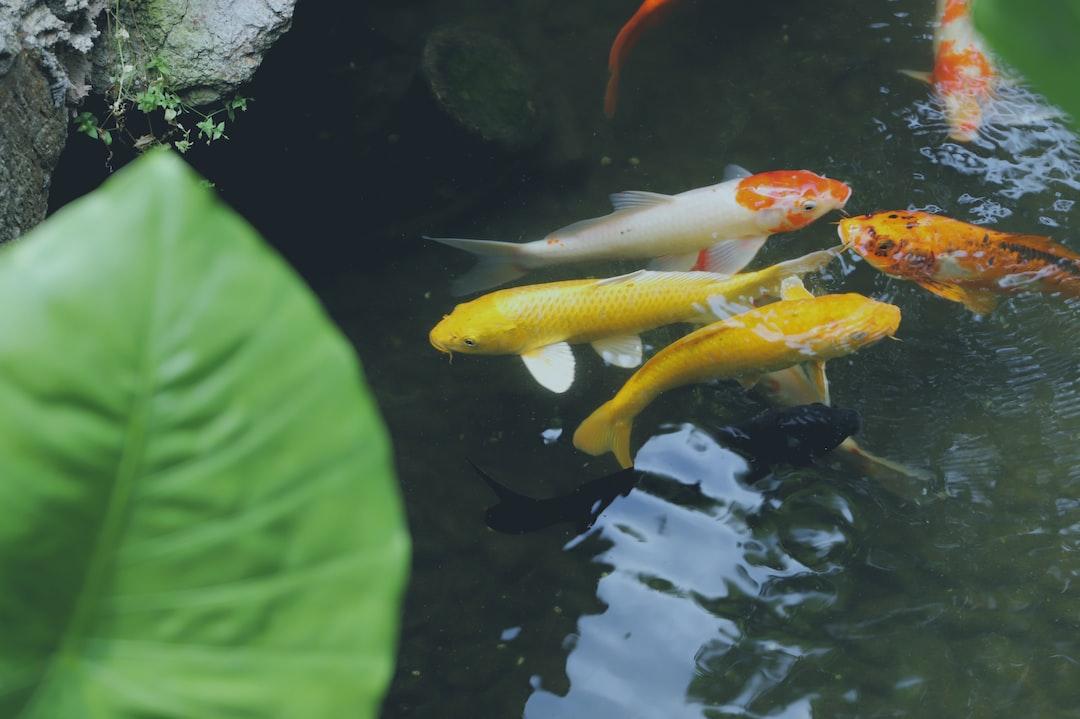 Gunakan Cara Ini Untuk Merawat Ikan Koi Budidaya Dengan Mudah