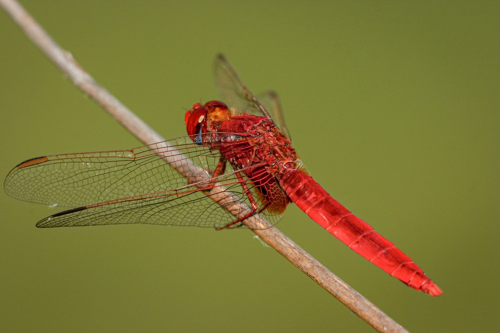 red and yellow dragonfly perched on brown stick in close up photography during daytime