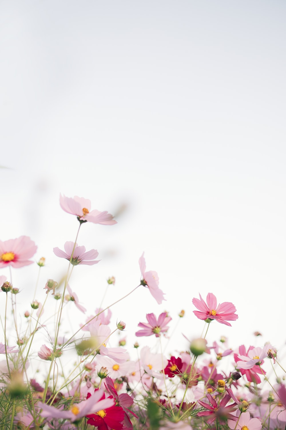 pink flowers with white background