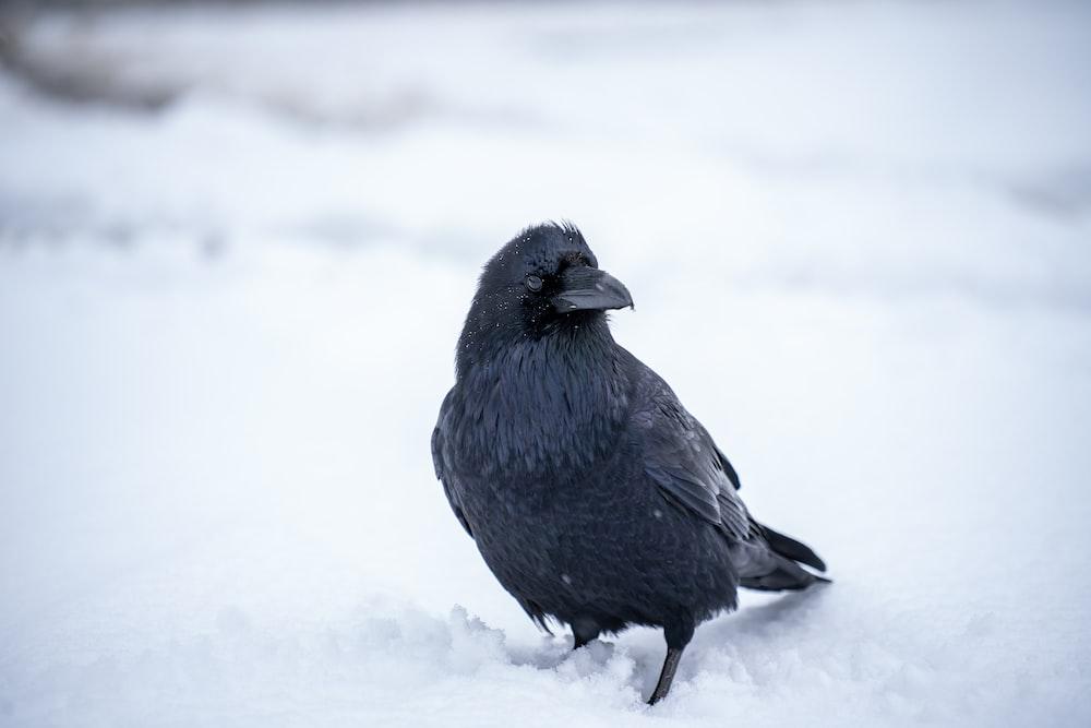 black bird on white snow