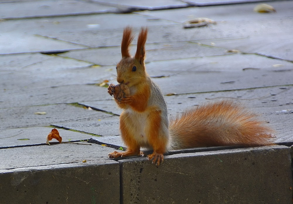 brown squirrel on gray wooden surface