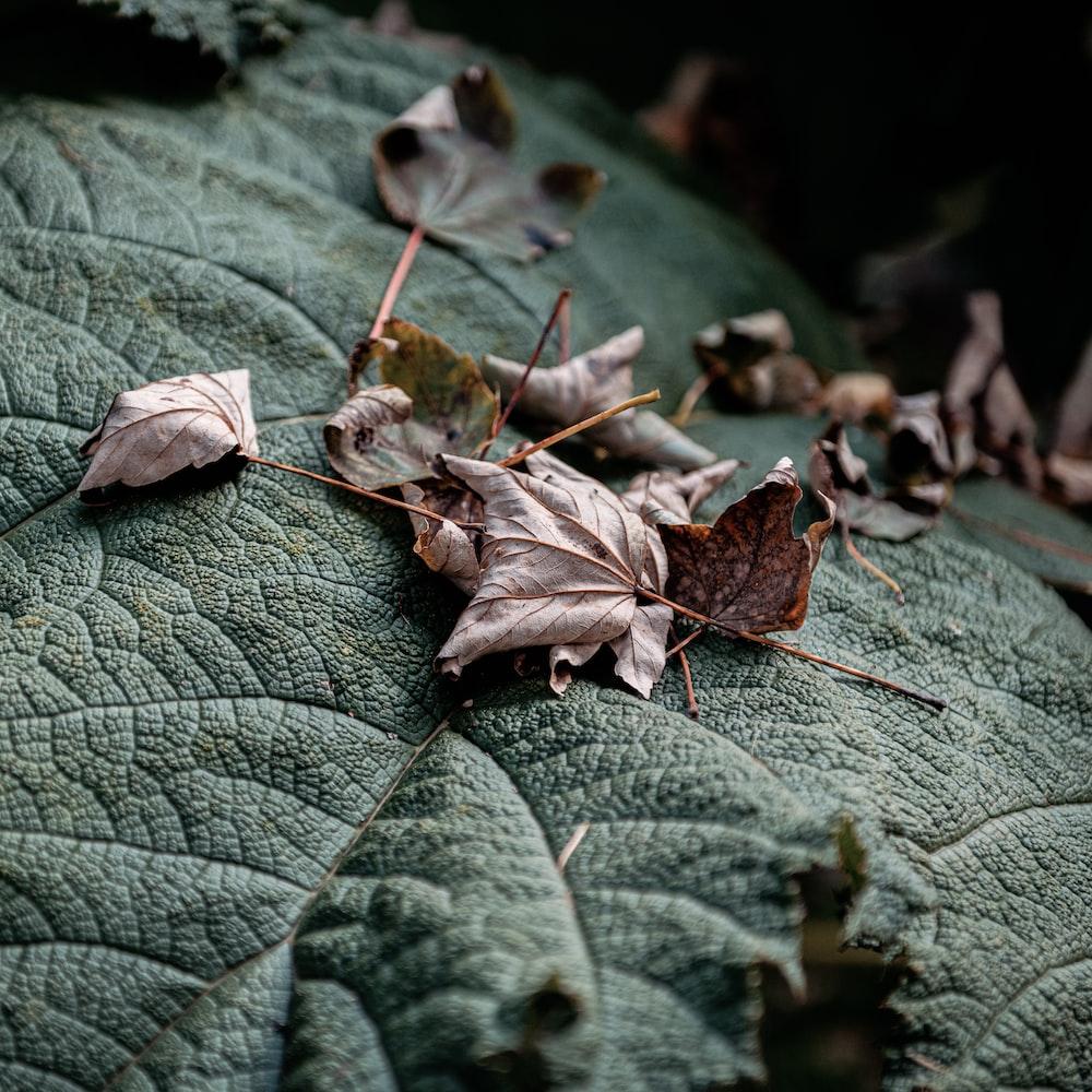 brown dried leaf on green leaves