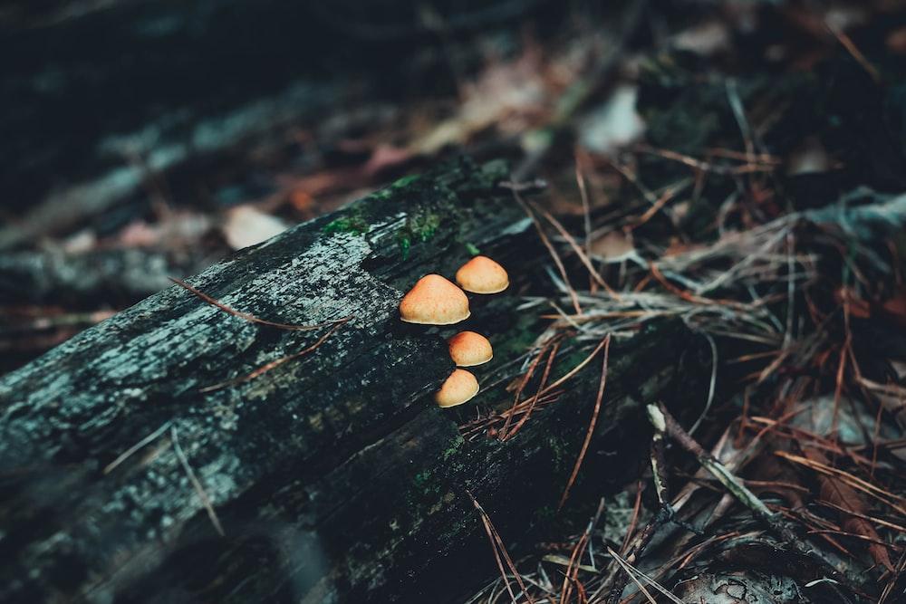 brown mushrooms on brown tree trunk