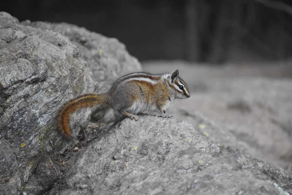 brown and white squirrel on gray rock