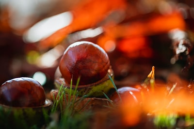brown and green round fruit on green grass chestnuts teams background