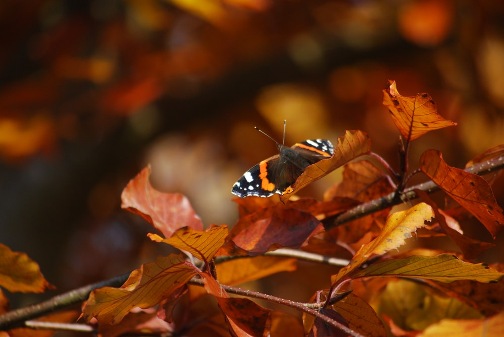 black white and orange butterfly on brown leaves
