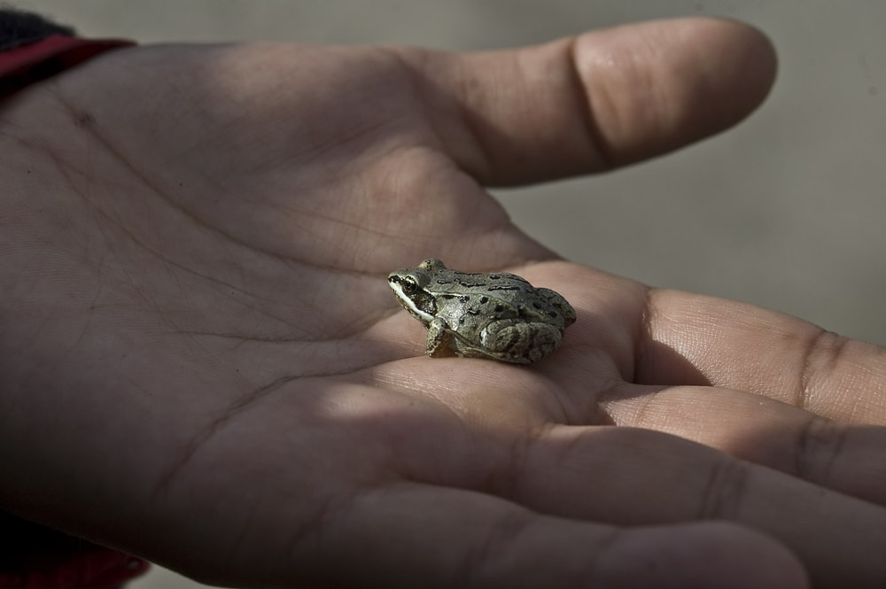 silver and black frog on persons hand