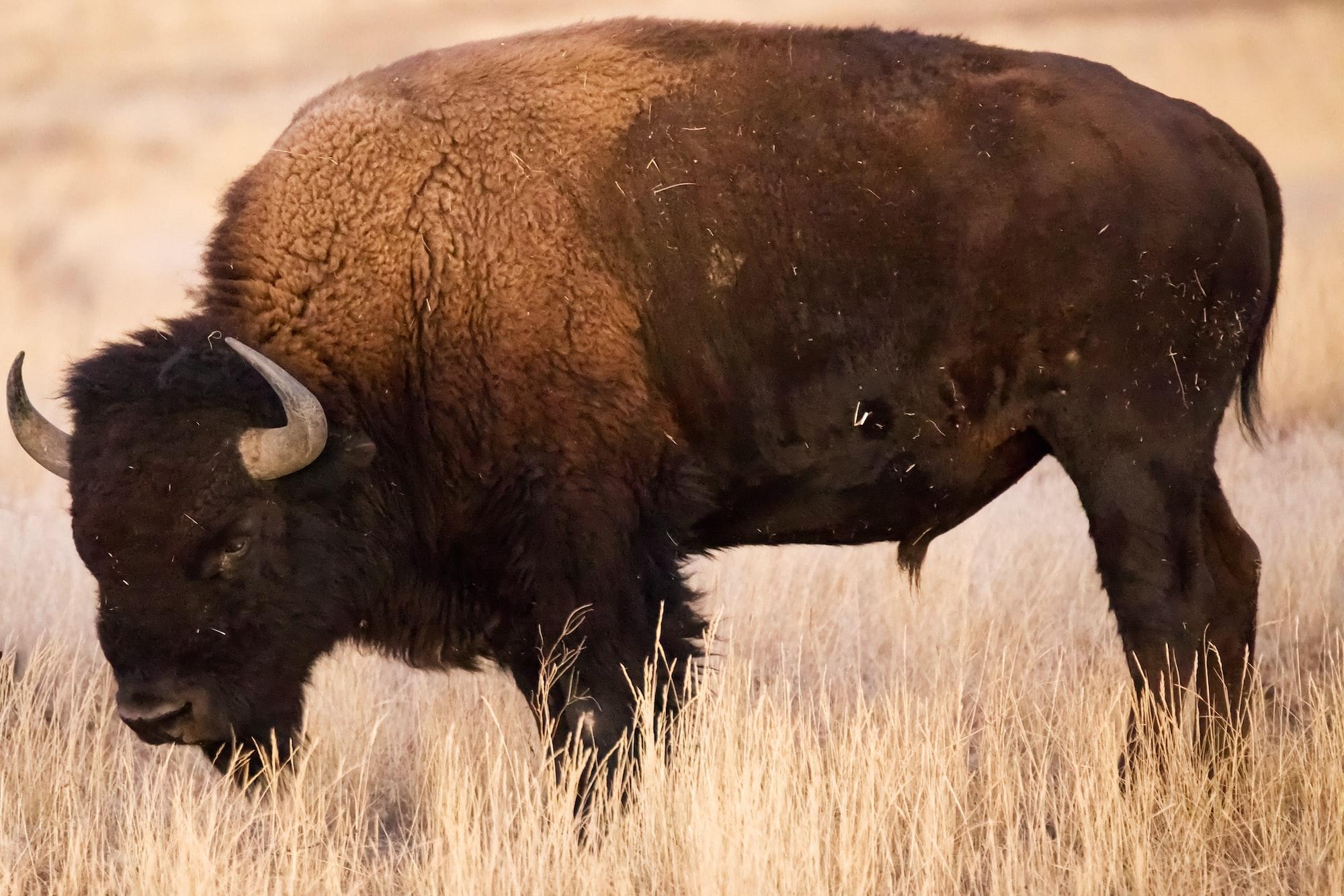 Big bad bison at Rocky Mountain Arsenal