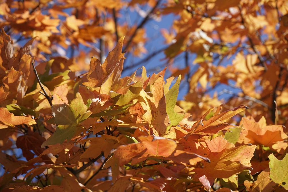 brown and yellow maple leaves
