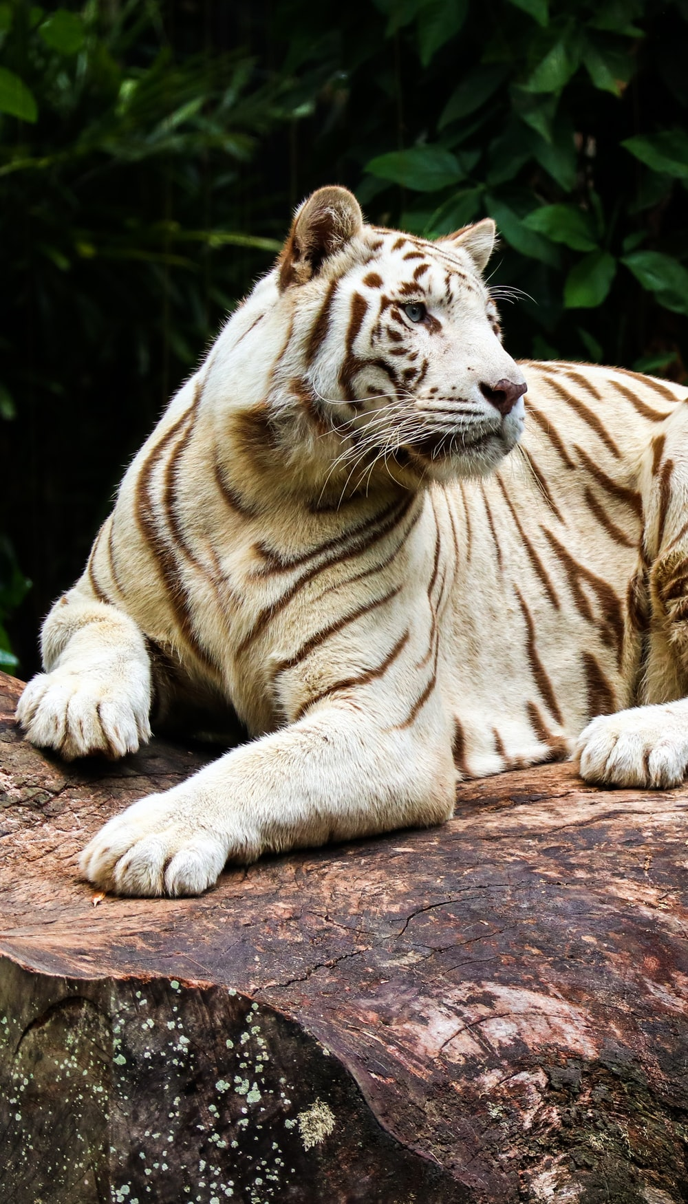 white and brown tiger lying on brown soil during daytime