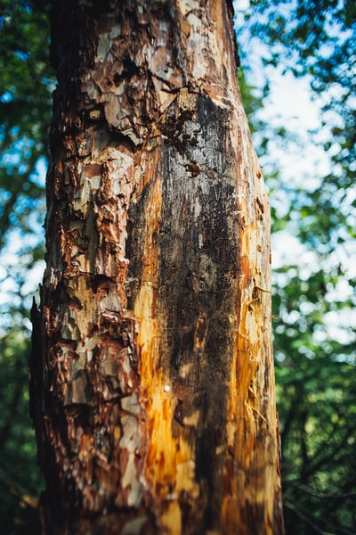 Sick tree - tree bark bark beetle. Made with analog vintage lens, Carl Zeiss Jena Flektogon red MC 2.8 20mm (Year: 1976)