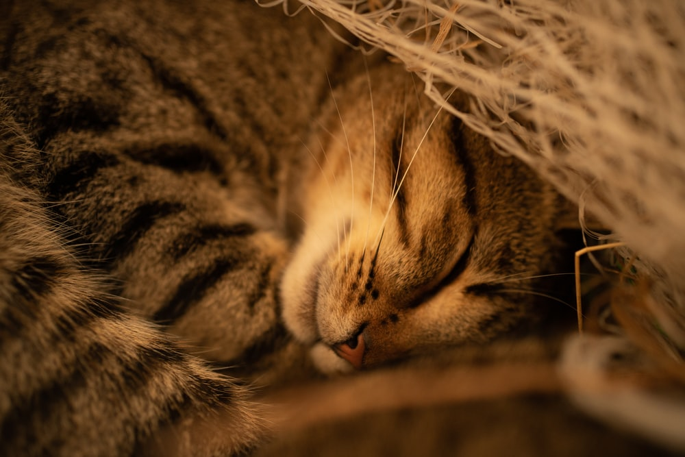 silver tabby cat lying on brown textile