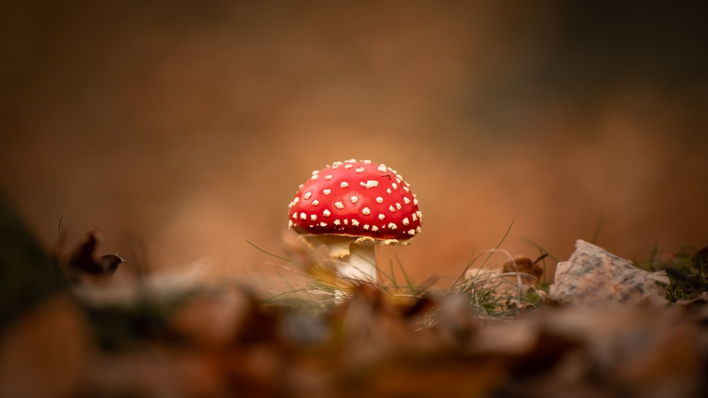 red and white polka dot mushroom in tilt shift lens
