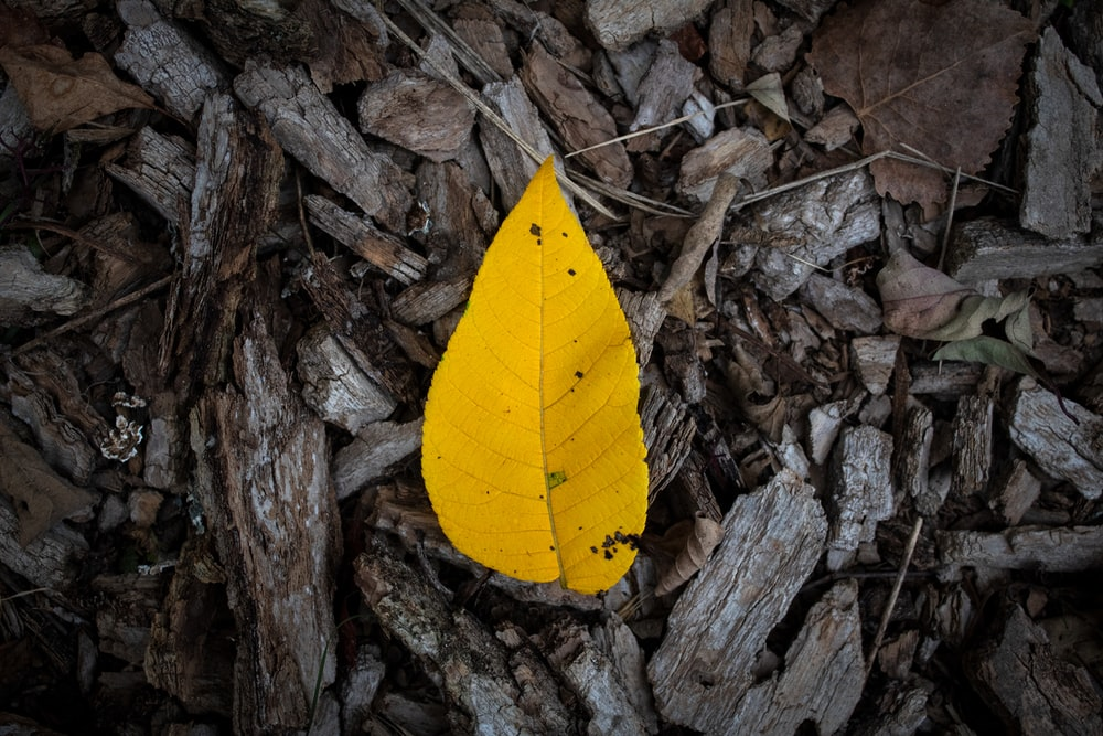 yellow leaf on brown dried leaves