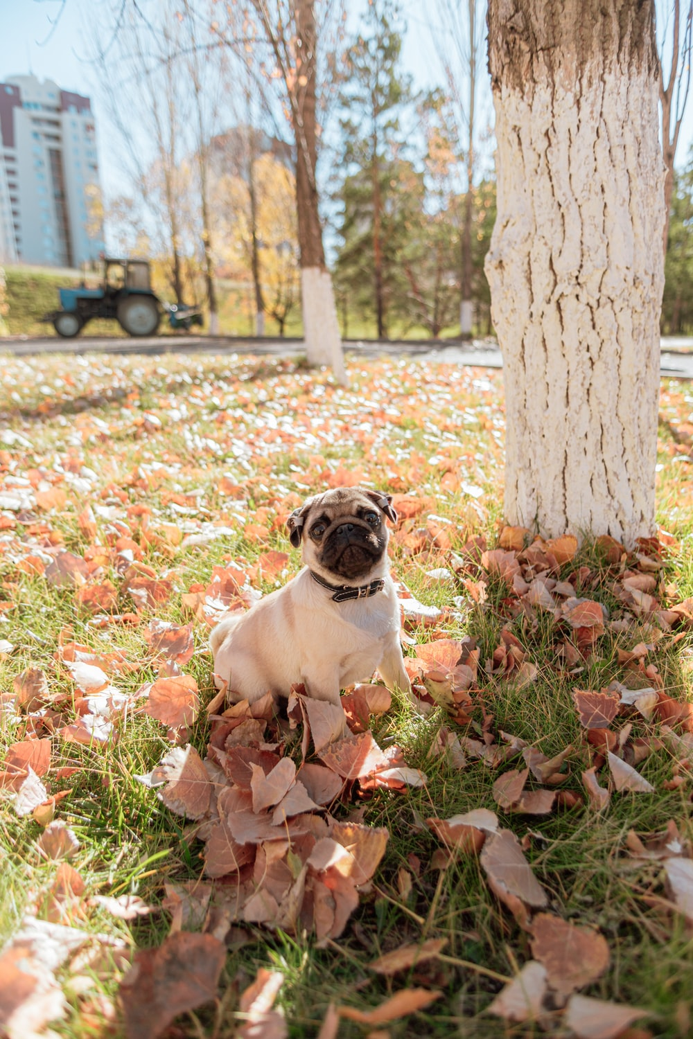 fawn pug sitting on ground with dried leaves