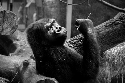 gorilla in gray scale photography ape teams background