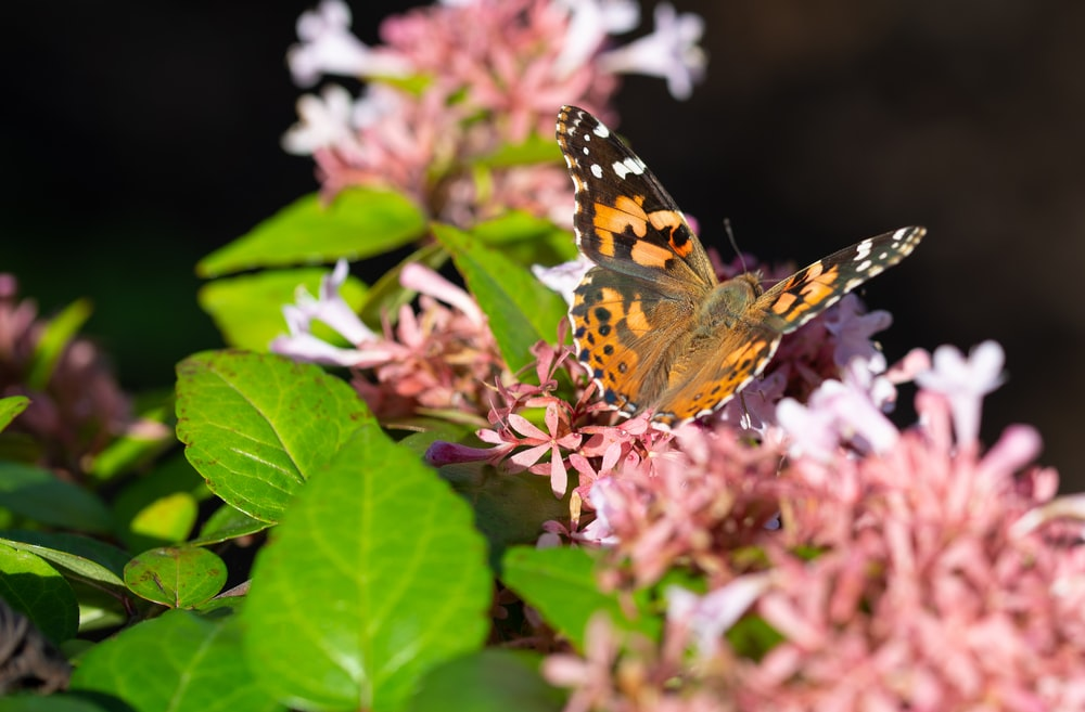 brown black and white butterfly on pink flower