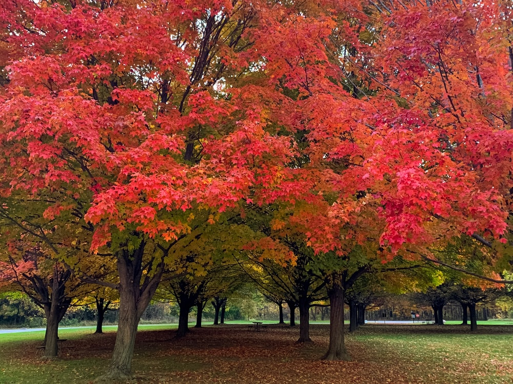red and yellow leaf trees on green grass field during daytime