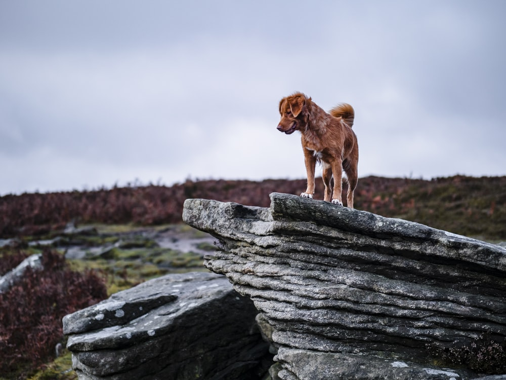brown short coated dog on gray rock