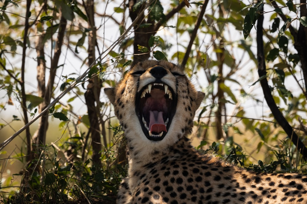 cheetah on brown grass during daytime