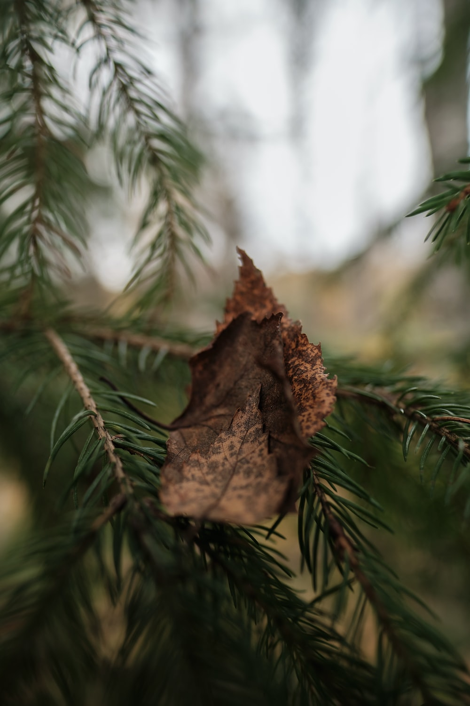 brown dried leaf on green pine tree