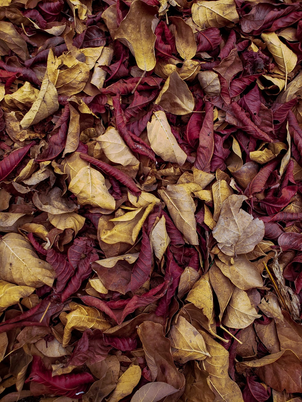 red and brown dried leaves