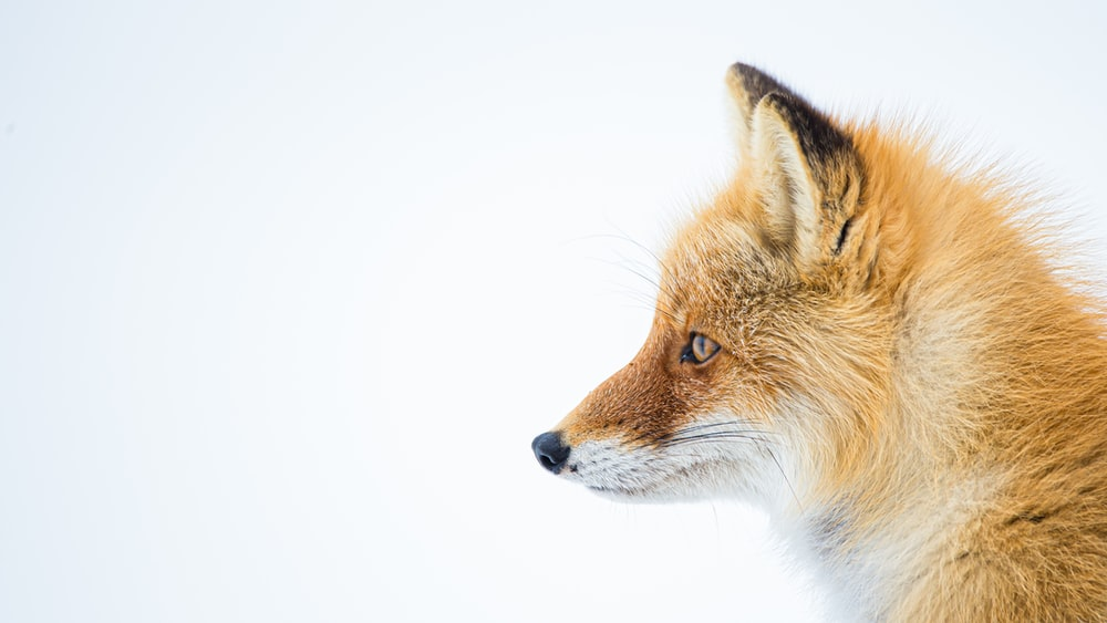 brown and white fox in white background